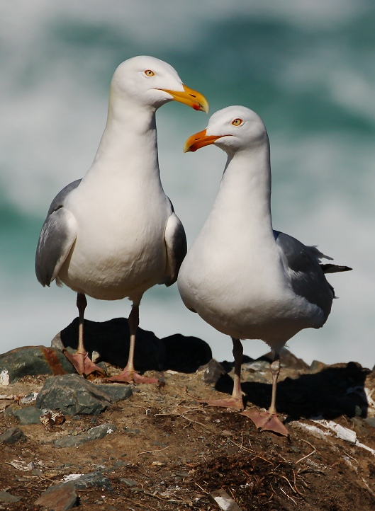 Herring Gull Couple