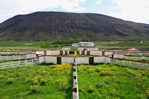 sheeps flock rettir island iceland norðurlandvestra
