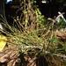 Garden Inventory: Black Pine (Pinus nigra) - 5
