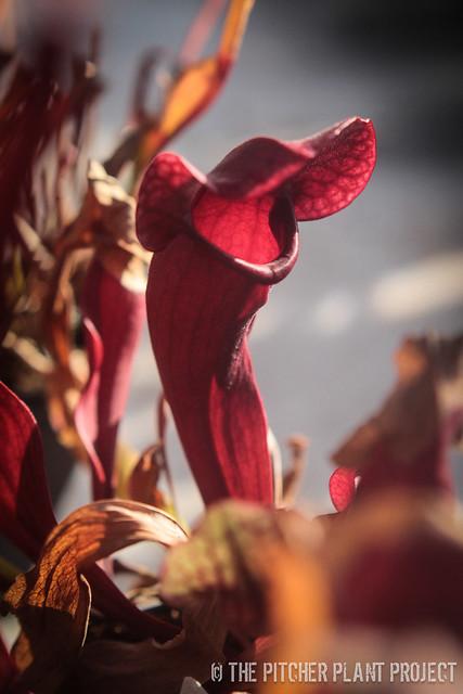 "Sarracenia ""Redman"" F2 x rosea"