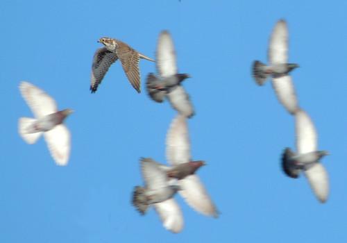 canada edmonton alberta columbalivia rockpigeon predation prairiefalcon falcomexicanus