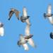 Prairie Falcon in Edmonton, AB