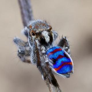 _X8A1564 Peacock spider Maratus speciosus