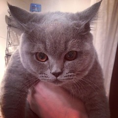nose, animal, british shorthair, small to medium-sized cats, pet, chartreux, cat, korat, burmese, carnivoran, whiskers, russian blue,
