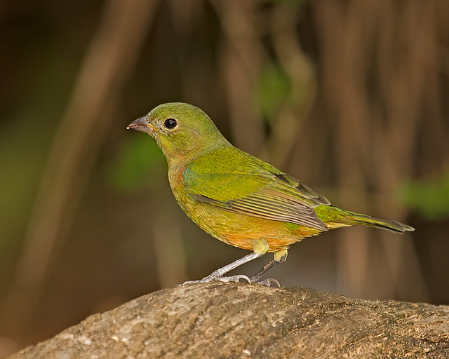 Juvenile painted bunting - photo#2