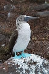 animal, wing, fauna, close-up, booby, beak, bird, wildlife,