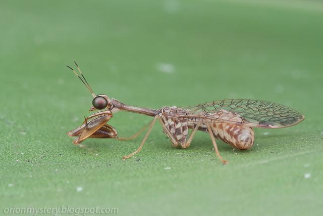 IMG_9104 copy mantisfly / mantidfly