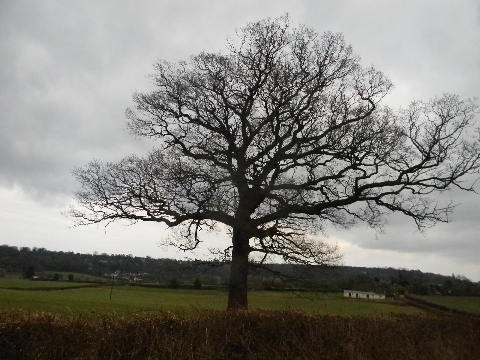 Big tree Whyteleaf to Hayes