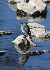 Yellow-rumped Warbler Acting Like a Black Phoebe