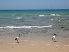 Ibis sagrado na praia de Baathela em Berbera