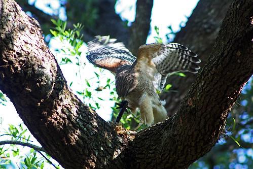 nature florida hawk snake redshoulderedhawk arteffects southernblackracer