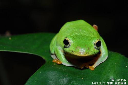 台北樹蛙(18)