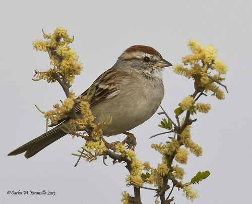 chippingsparrow spizellapasserina laredotx northcentralpark avianexcellence thewonderfulworldofbirds blinkagain gorriondecejablanca