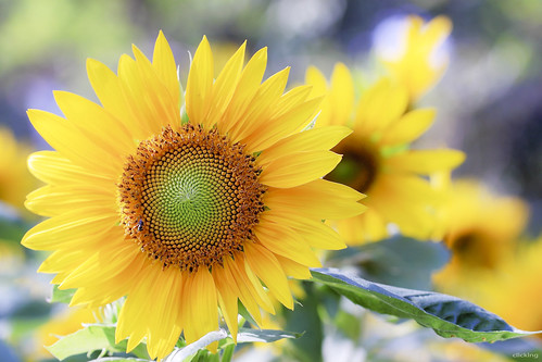 The sunflower in the sunshine [ EXPLORED ] by -clicking-