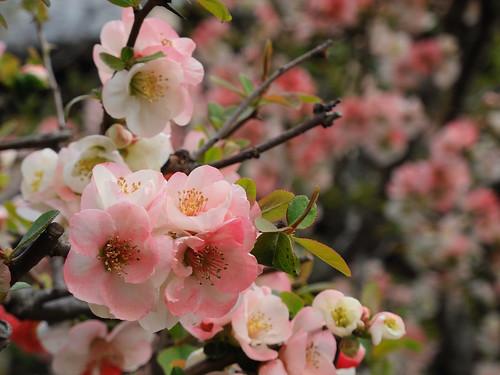Flowering Quince at Hasedera,Kamakura