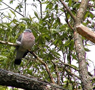 Ringduva / Wood Pigeon