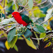 Small photo of Australian King Parrot (Alisterus scapularis)