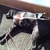 Faye enjoying the sun on #bcferries #guidedogs #blacklabsrock #dogsofinstagram