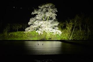 向野の夜桜@城端。