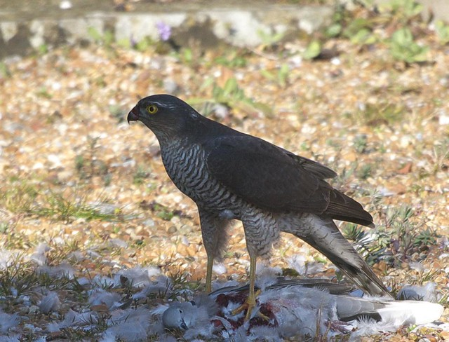 DSC_6169 Female Sparrowhawk with its prey