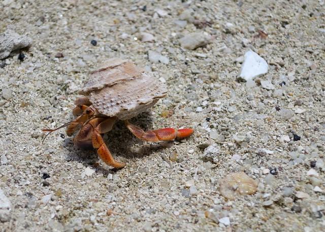 Topside Hermit crab