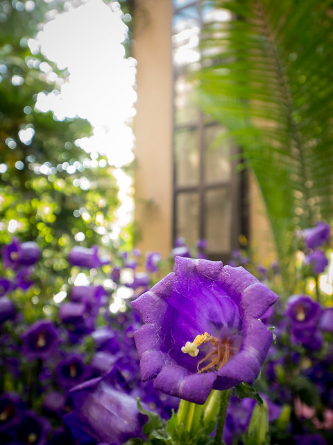 Panasonic 7-14mm Test: Purple Bell 1