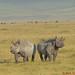Black Rhino - Ngorongoro CA - Tanzania by bart coessens