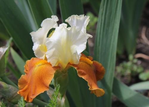 Iris - floraisons 2011 - Page 3 8664538197_50d4aee7cf