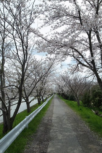 桜の花、舞い上がる道を 2