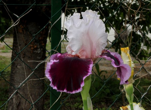 Nos Iris : floraisons 2012 - Page 2 8665667610_ab81290fc2