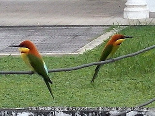 A Pair Of Chestnut-Headed Bee-Eaters