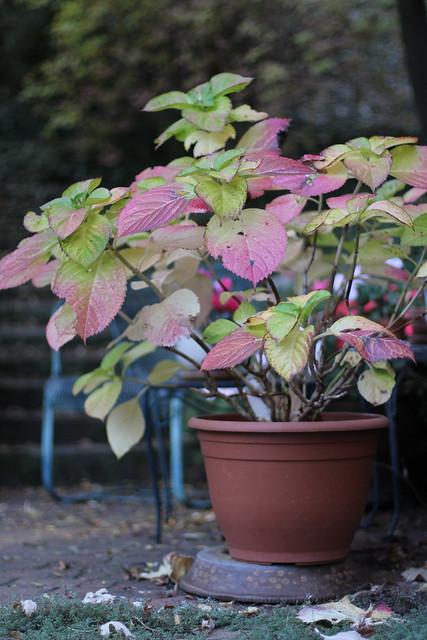 hydrangeas in fall
