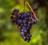 Visiting a vineyard just before picking........