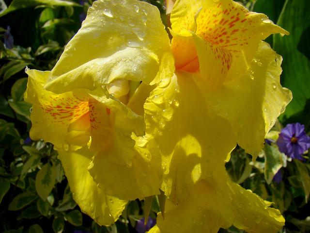CANA jaune et rosee., Sony DSC-H9