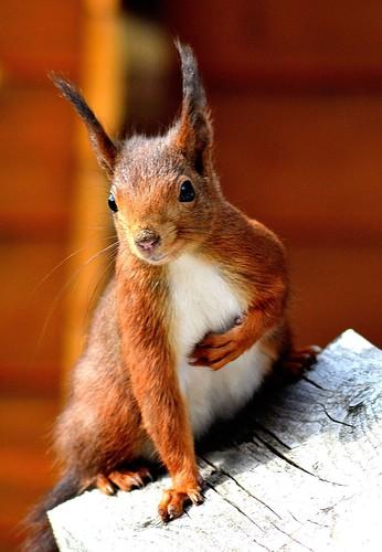 Aprilhörnchen