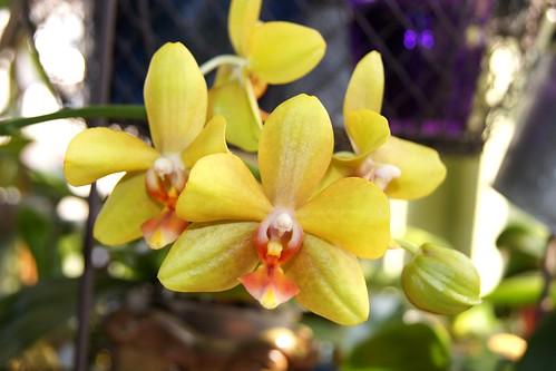 Phalaenopsis - Seite 6 8616853680_d179a294eb