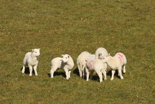 Group of lambs