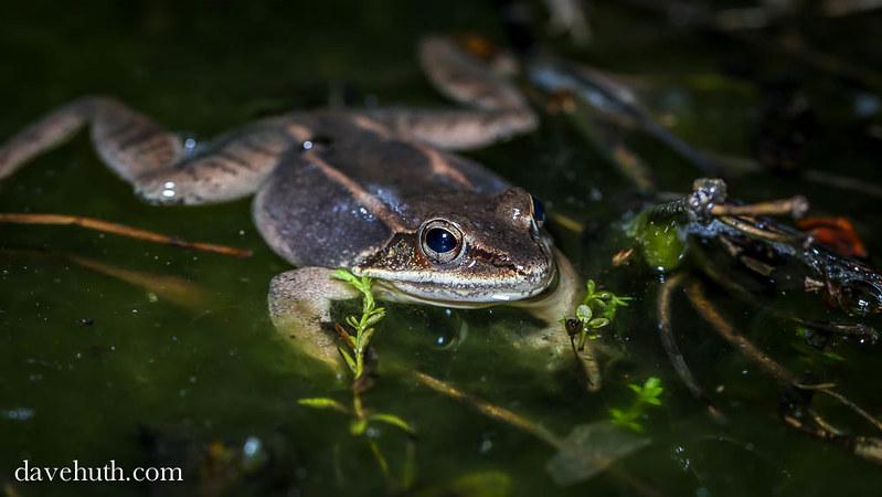 Wood Frog (Rana sylvatica) - floating on surface