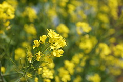 菜の花 rape blossoms