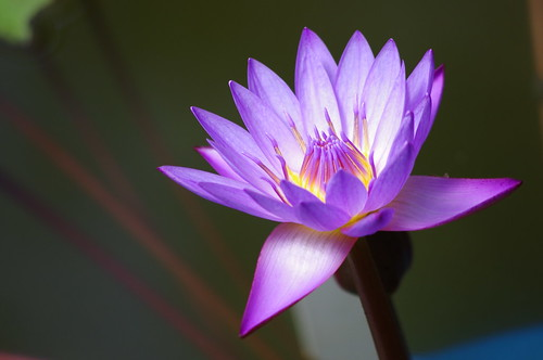 Purple lotus 紫蓮