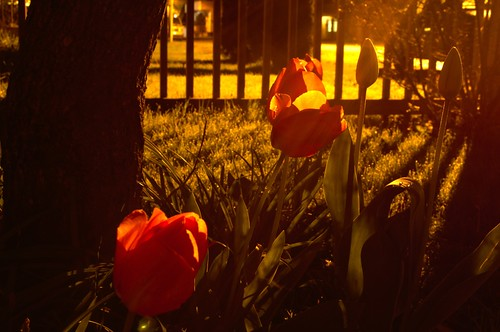 Long Exposure Tulips