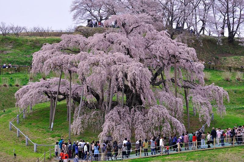 三春滝桜 Miharu Takizakura