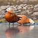 Ruddy Shelducks, Koshi extension