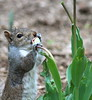 squirrel trying to eat a tulip in Wash. Sq. Park