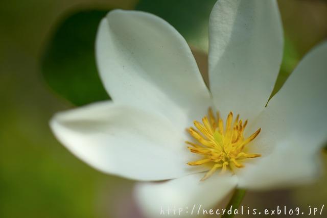 ウンナンオガタマ [Michelia yunnanensis]...