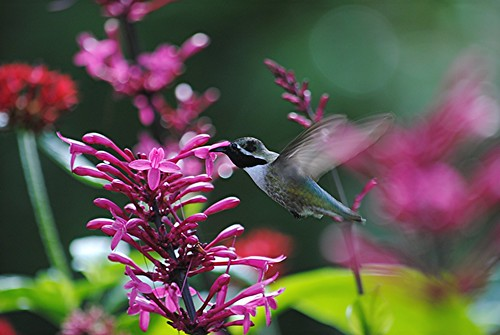 Fluttering wings of Costa's Hummingbird nectaring on pink Firespike look transparent by jungle mama