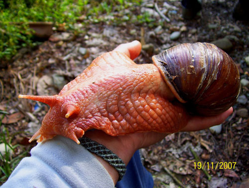 Giant-African-land-snails