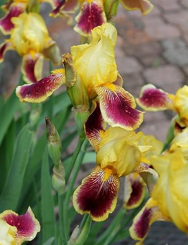 Iris - floraisons 2011 - Page 3 8665499463_0479f0f4a8