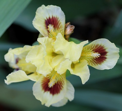 Iris - floraisons 2011 8665632571_47b4bd4563