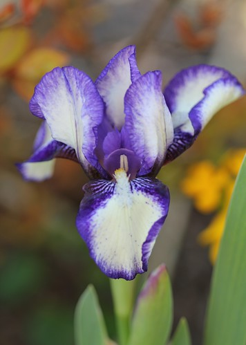 Iris - floraisons 2011 8665639789_8704430773